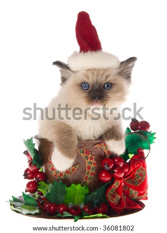 Cute Ragdoll kitten in Christmas cup on white background