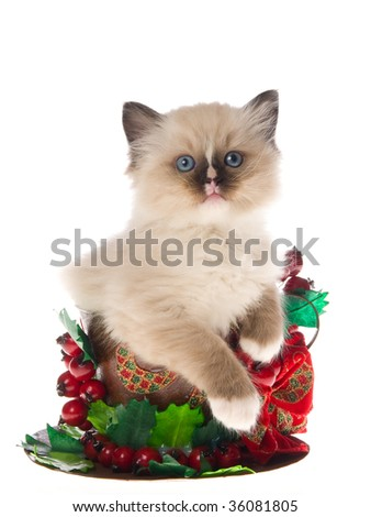 Cute Ragdoll kitten in Christmas cup on white background - stock photo