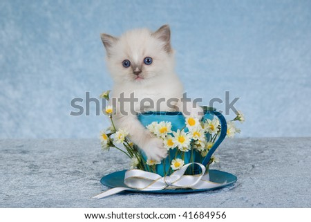 Cute Ragdoll kitten in large cup and saucer with daisies, on blue background - stock photo