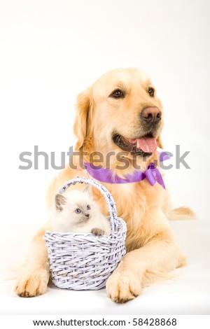 Cute Ragdoll kitten in lilac basket with Golden Retriever on white background