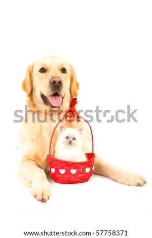 Cute Ragdoll kitten in Valentine basket with Golden Retriever on white background - stock photo