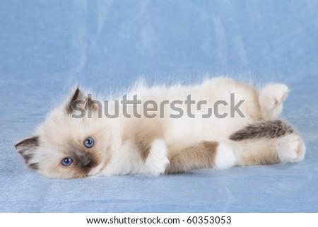Cute Ragdoll kitten on blue background - stock photo