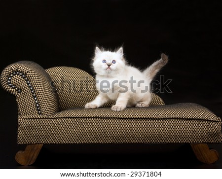 Cute Ragdoll kitten on miniature brown chaise couch sofa on black background - stock photo
