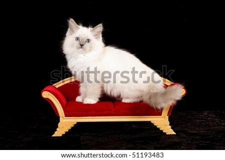 Cute Ragdoll kitten on miniature Victorian sofa, on black background - stock photo