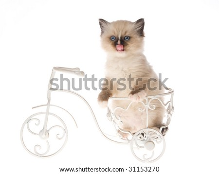 Cute Ragdoll kitten on miniature white bicycle on white background - stock photo