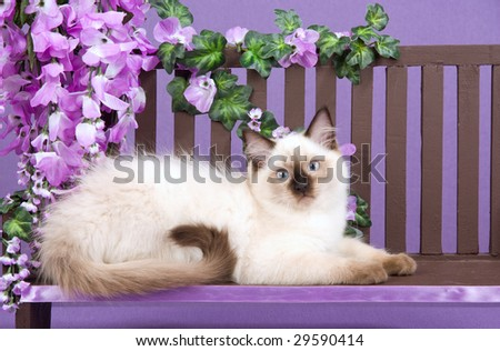 Cute Ragdoll kitten on wooden bench with purple wisteria flowers - stock photo