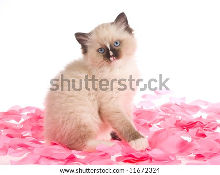 Cute Ragdoll kitten sitting in pink rose flower petals, on white background