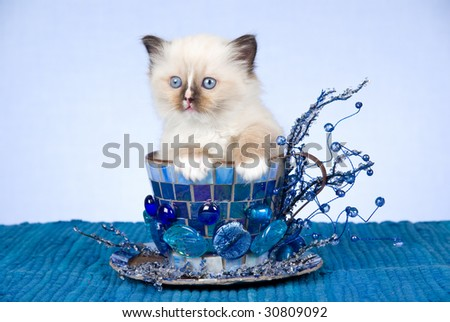 Cute Ragdoll kitten sitting inside blue decorated extra large cup on blue background - stock photo