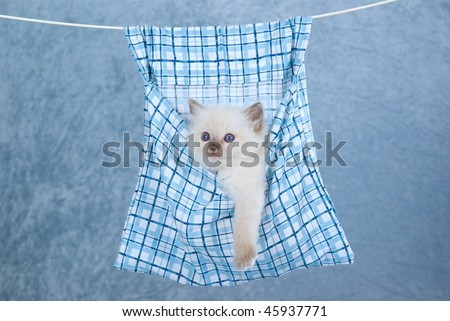 Cute Ragdoll kitten sitting inside clothes peg bag, hanging from clothes line