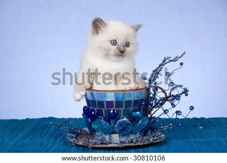 Cute Ragdoll kitten sitting inside large cup decorated with crystals, mosaic, stones - stock photo