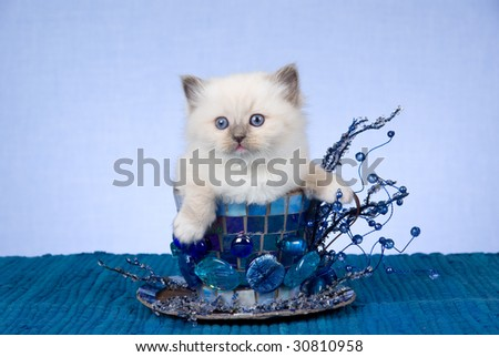 Cute Ragdoll kitten sitting inside very large blue cup with crystals, mosaic - stock photo