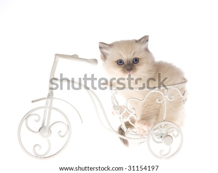 Cute Ragdoll kitten sitting on miniature white bicycle on white background - stock photo