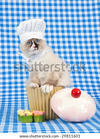Cute Ragdoll kitten wearing chef hat and scarf sitting in cupcake bowl on blue check background - stock photo