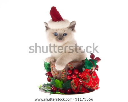 Cute Ragdoll kitten wearing santa hat sitting in large cup decorated with christmas berries bow on white background - stock photo