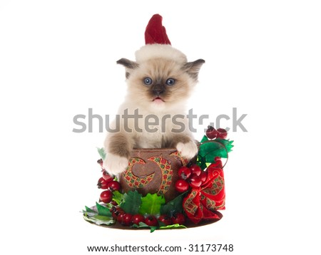 Cute Ragdoll kitten wearing Santa hat sitting in large cup decorated with christmas berries bow, on white background - stock photo