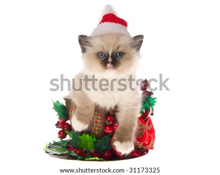 Cute Ragdoll kitten wearing Santa hat sitting inside large cup decorated with berries and bow, on white background - stock photo