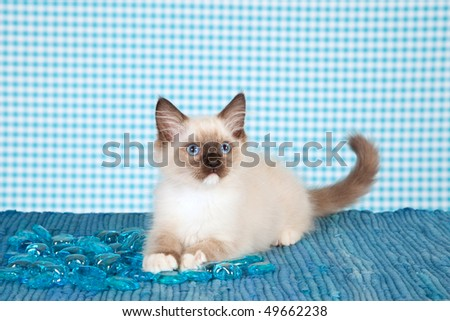 Cute Ragdoll kitten with blue glass pebbles on blue background - stock photo