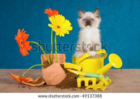 Cute Ragdoll kitten with broken pot plant and flowers - stock photo