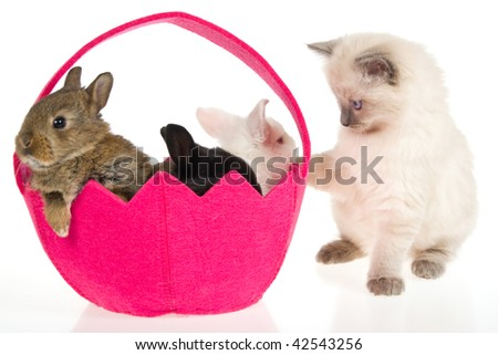 Cute Ragdoll kitten with three bunnies in pink basket, on white background - stock photo