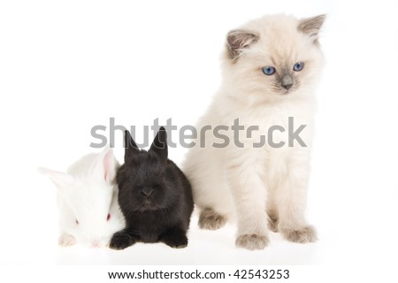 Cute Ragdoll kitten with two bunnies, on white background - stock photo