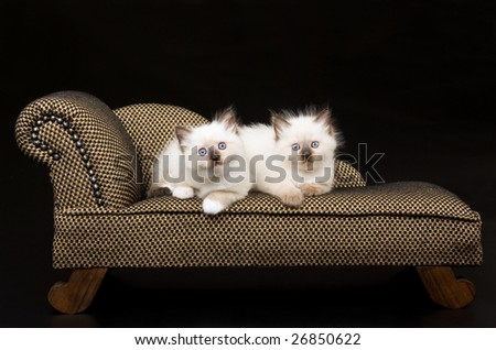 Cute Ragdoll kittens on brown miniature sofa chaise couch on black background - stock photo