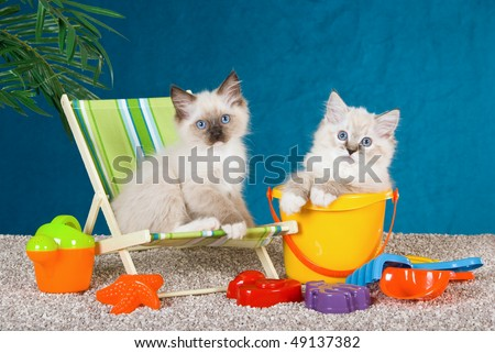 Cute Ragdoll kittens on deckchair on fake beach with colorful toys - stock photo