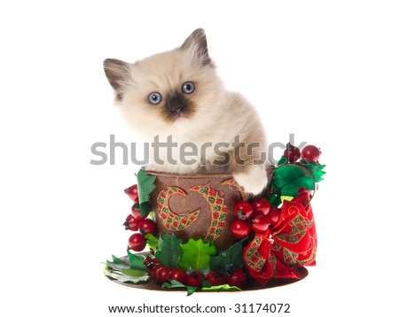 Cute Ragdoll kittens sitting inside large cup decorated with christmas berries bow, on white background