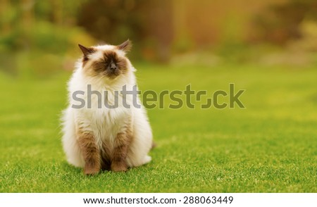 Cute Ragdoll kitty cat with closed eyes, sniffing through the air, sitting straight on grass with free copyspace for your text - stock photo