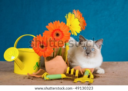 Cute Ragdoll with broken pot plant and gardening tools - stock photo