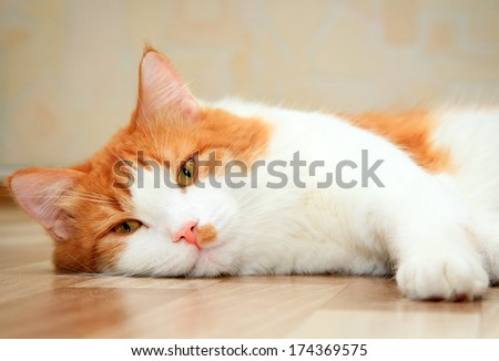 cute red and white cat lying on the floor - stock photo