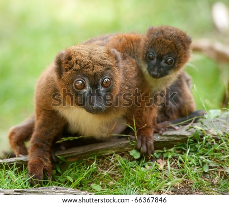 Cute Red-bellied Lemur with baby (Eulemur rubriventer) - stock photo