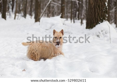 Cute red-haired Scottish Terrier dog in the woods in winter