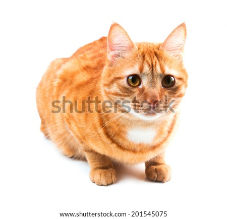 Cute red haired young cat, isolated on white