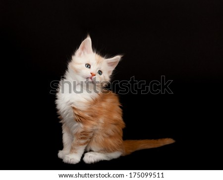 Cute red Maine Coon kitten on black background - stock photo