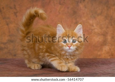Cute red Maine Coon kitten playing