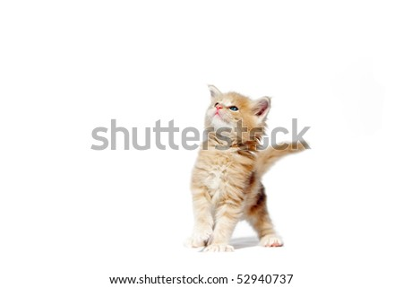 Cute red maine coon kitten 5 weeks old walks over white background - stock photo