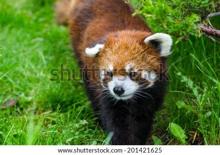 Cute Red Panda walking through tall grass - stock photo