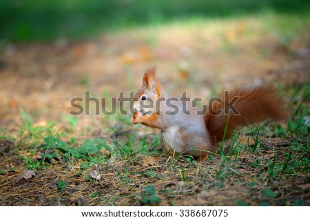 Cute red squirrel eating nut in autumn forest ground between green grass. Photo with nice blured colors in background.