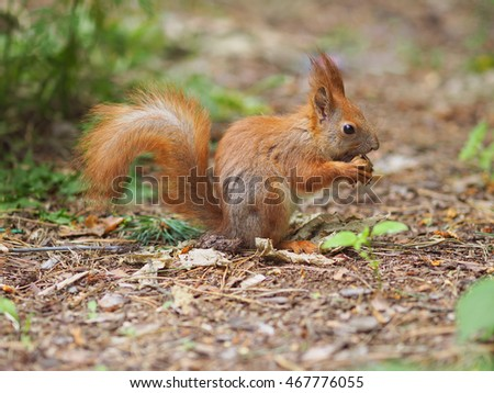 Cute red squirrel eating walnut in the park