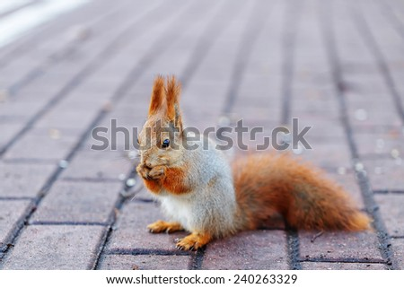 Cute red squirrel eats a nut. - stock photo