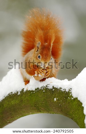Cute red squirrel eats a nut in winter scene with snow - stock photo