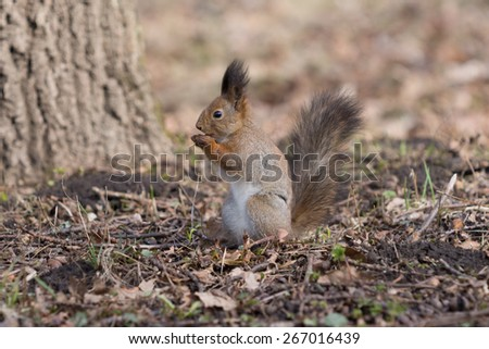 Cute red squirrel eats an acorn on back paws in the park. - stock photo