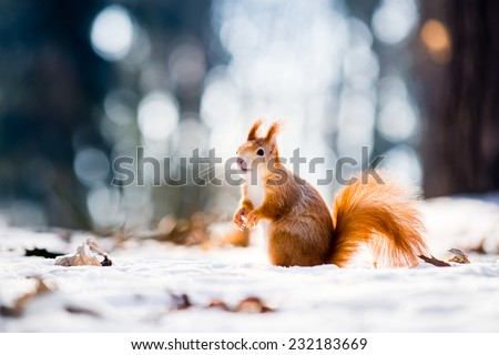 Cute red squirrel looking at winter scene - photo with nice blurred forest in the background - stock photo