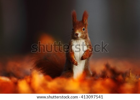 Cute red squirrel with long pointed ears eats a nut in autumn orange scene with nice deciduous forest in the background, hidden in the leaves. Squirrel with big tail Squirrel  in the habitat, Germany - stock photo