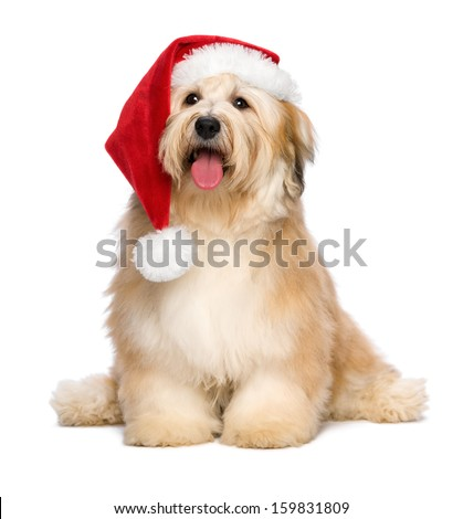 Cute reddish sitting Bichon Havanese puppy dog in a Christmas - Santa hat. Isolated on a white background