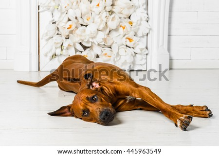 Cute relaxed Rhodesian Ridgeback dog stretching in front of  fir - stock photo