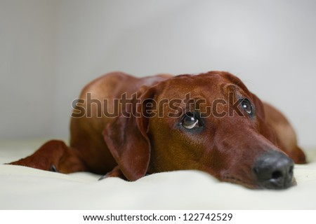 Cute rhodesian ridgeback dog puppy with  cute look laying on a bed - stock photo