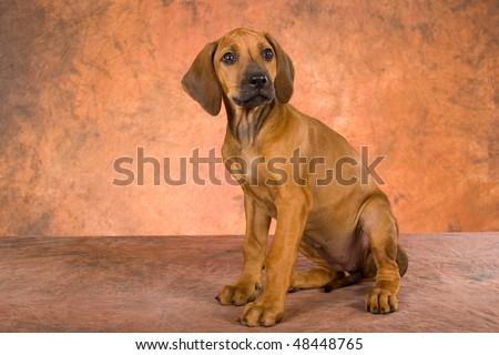 Most Inspiring Rhodesian Ridgeback Brown Adorable Dog - stock-photo-cute-rhodesian-ridgeback-puppy-on-brown-background-48448765  Snapshot_27985  .jpg