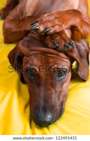 Cute rhodesian ridgeback puppy with paws crossed on her head - stock photo