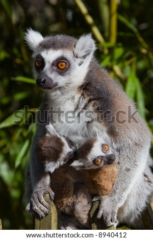 cute ring-tailed lemur with baby - stock photo